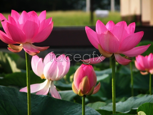 HD water lily photograph
