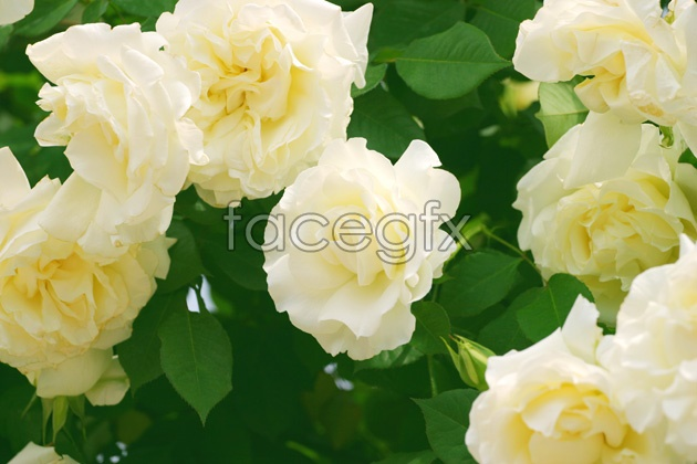 HD white rose picture