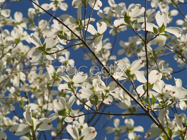 Peach blossom in full bloom material picture