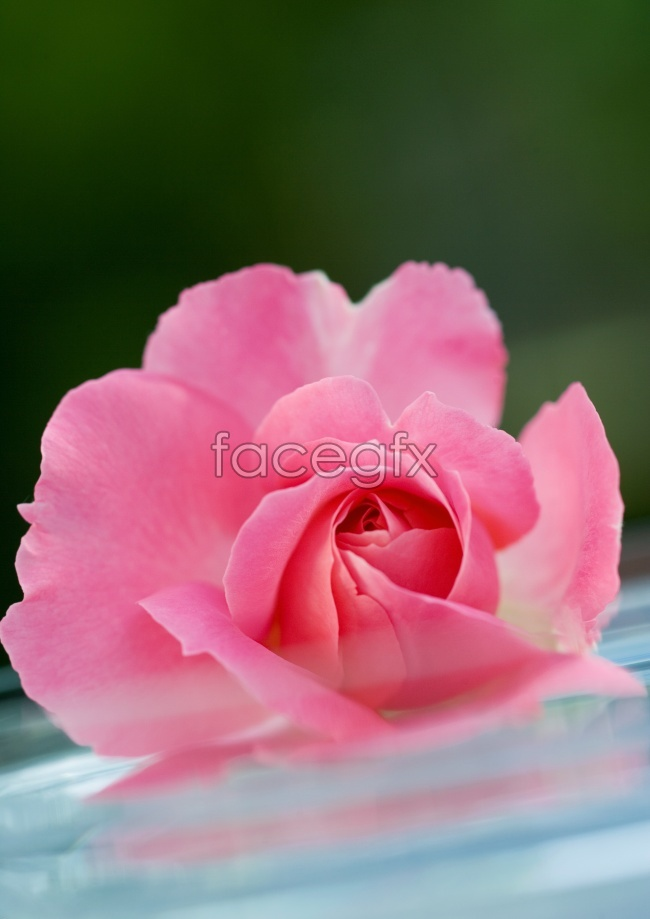Pink flowers HD picture material