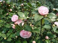 Yunnan Camellia pho