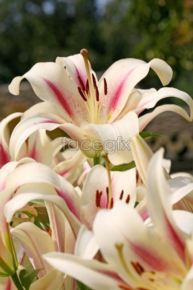 Beautiful lily flower picture