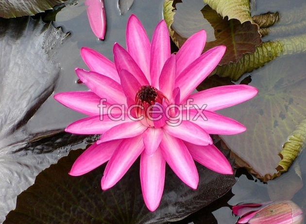 HD Red Lotus pictures