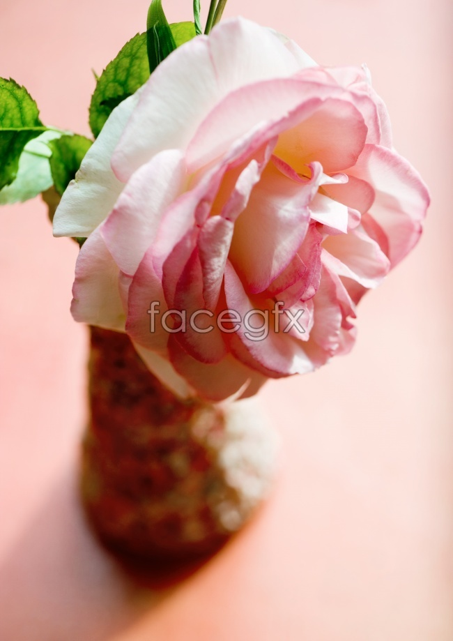 Rose flowers pictures