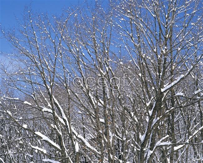 Trees snow pho