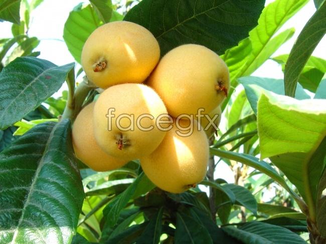 Loquat fruit pictures