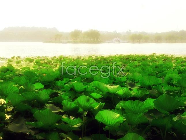 Lotus Flower landscape picture