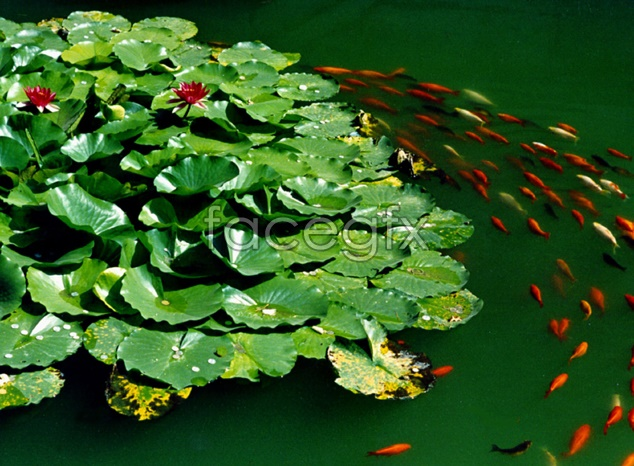 Lotus ponds material picture