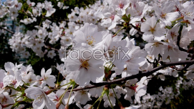 White cherry blossom picture material