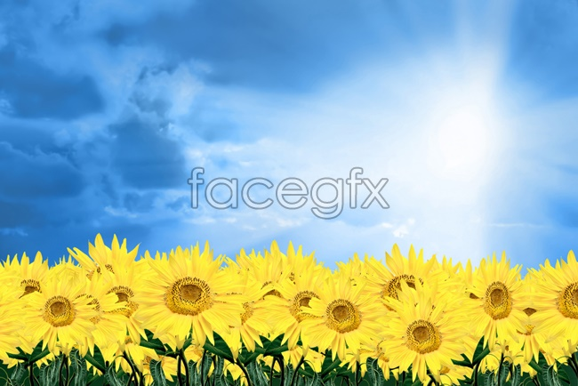 Blue Sky sunflower picture