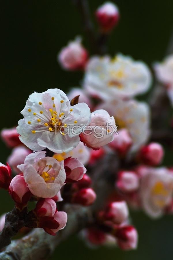 HD classic peach-picture