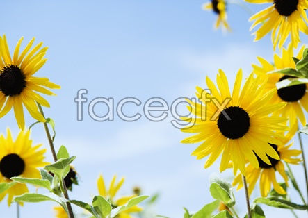 Sunflower pictures 2