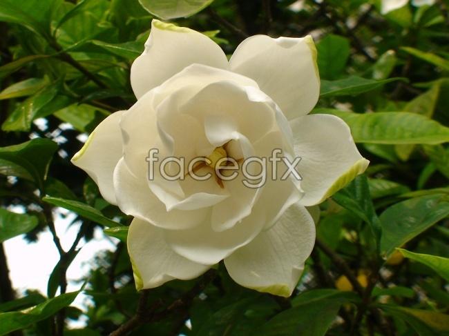 Gardenia HD picture