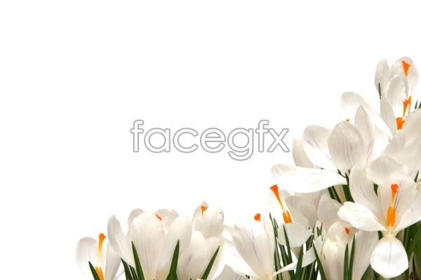 HD Daffodil pictures