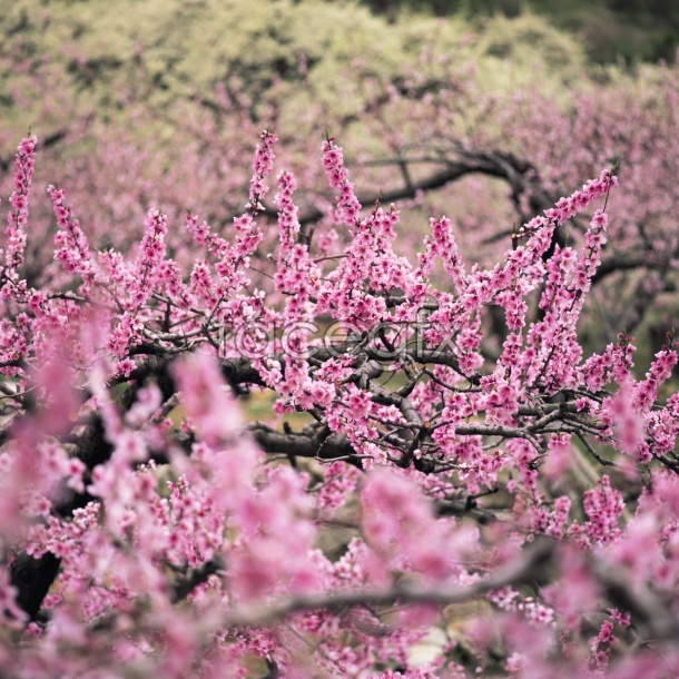 Peach flowers picture material