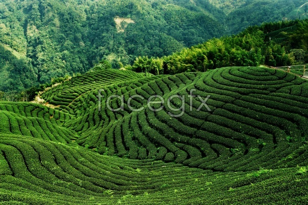 Tea forest landscape pictures in HD
