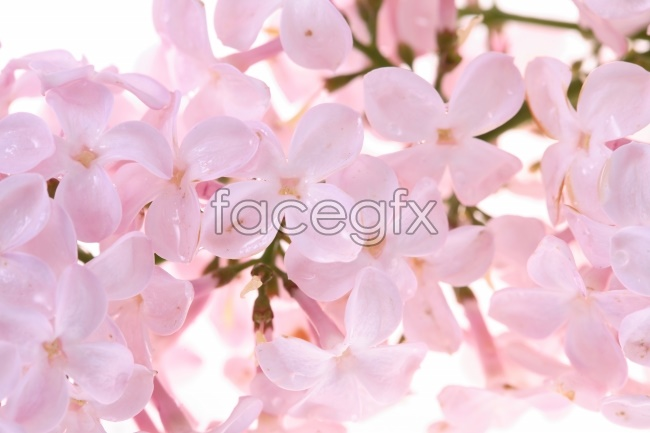 Fresh lilac picture