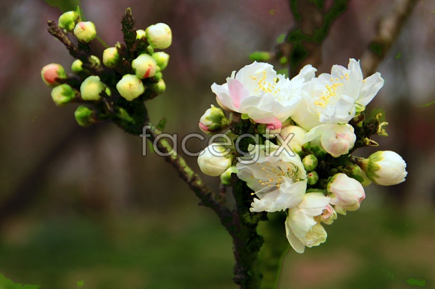HD white Begonia flowers pictures