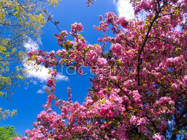 Pink peach blossom pictures HD