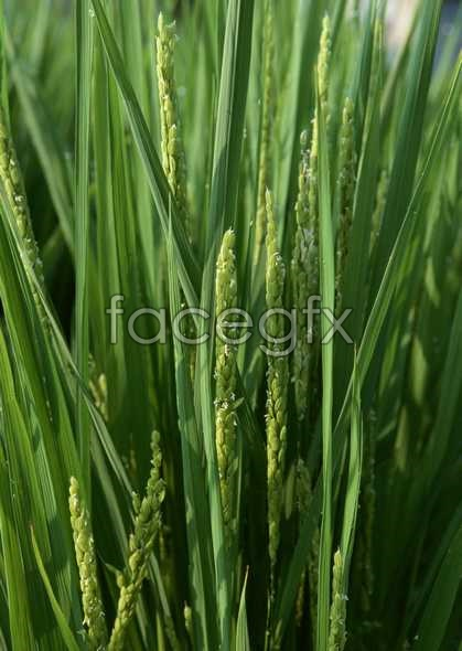 Rice pictures