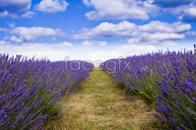 Roadside Lavender high definition pictures
