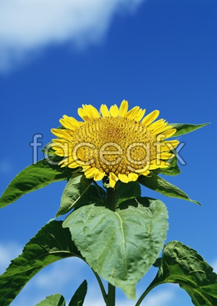Sunflower pictures 1