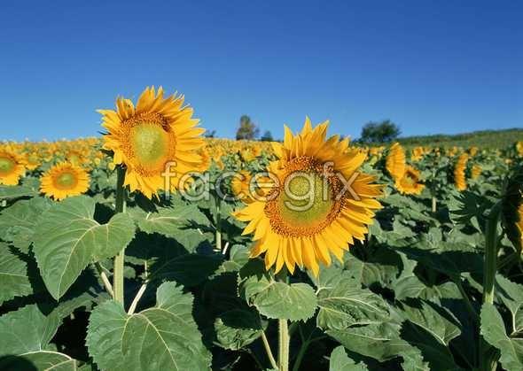 Thousand flower 107
