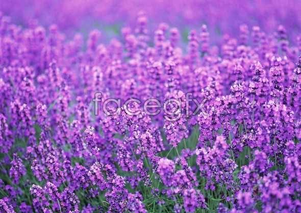 Thousand flower 616