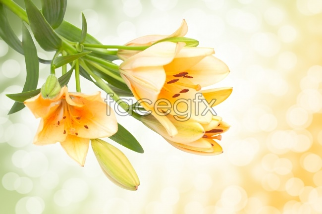 Yellow lilies HD pictures