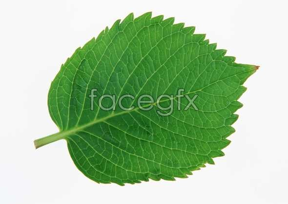 Oval leaf pictures