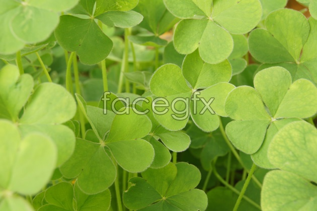 Fresh clover pictures HD