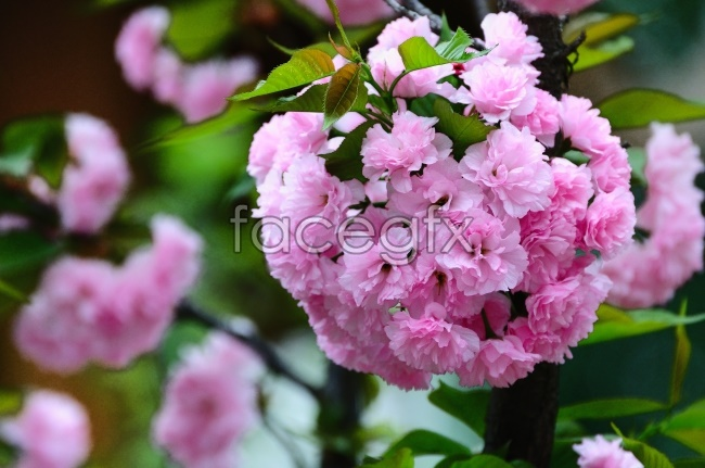 Fresh pink cherry blossom pictures