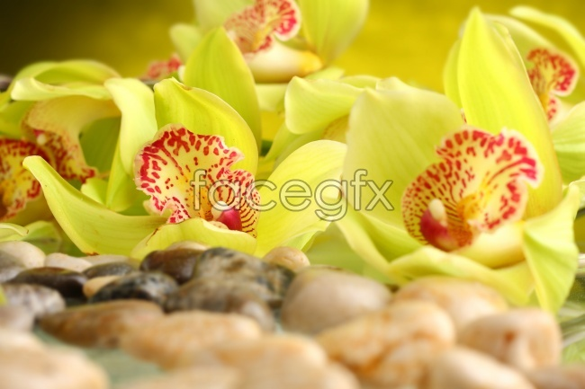 Yellow Orchid pho
