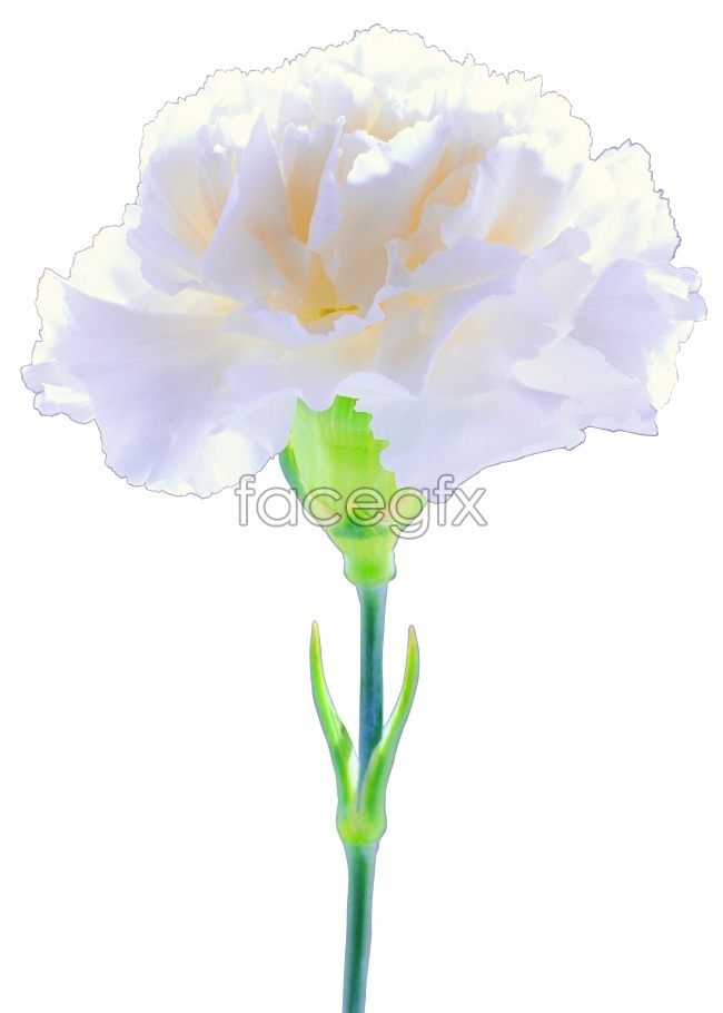 A bouquet of white carnations pictures