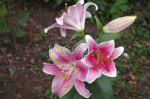 HD gorgeous Lily picture