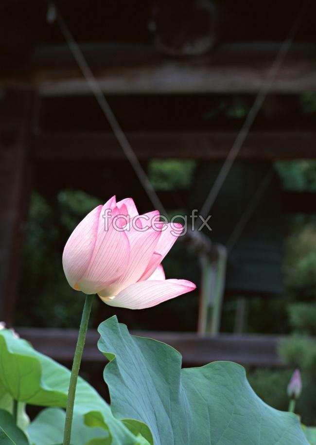 Lotus picture material