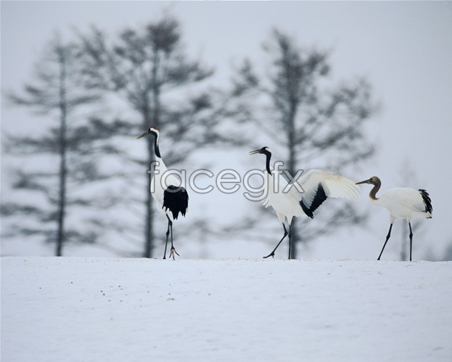 Red-crowned crane pictures in the snow