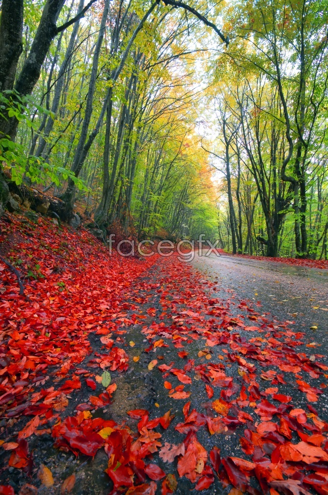 Red leaves in the fall scenery picture