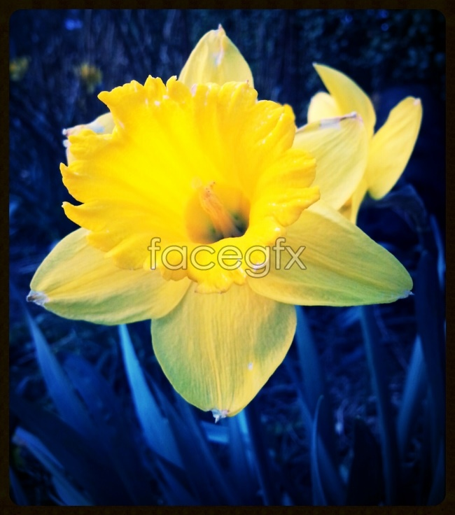 Yellow lilies pictures
