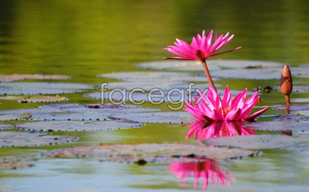 HD water lily pictures