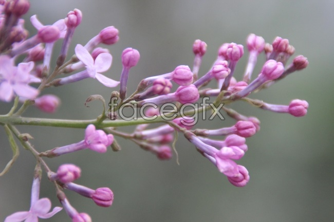 Lilac HD Photo