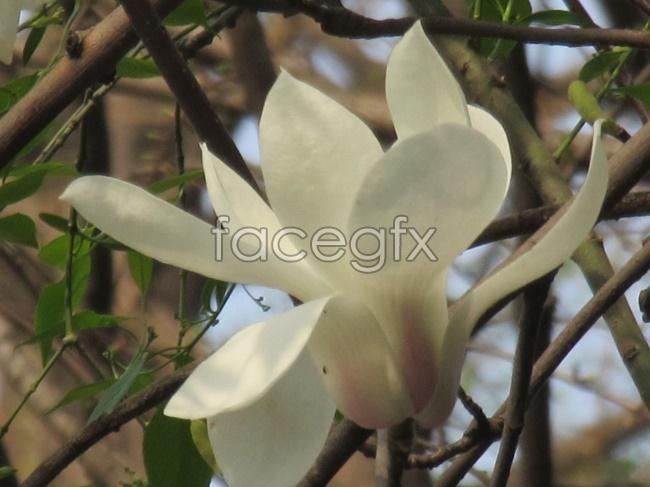 Magnolia blossoms pictures