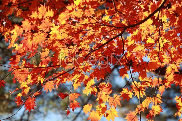 Maple Leaf material picture
