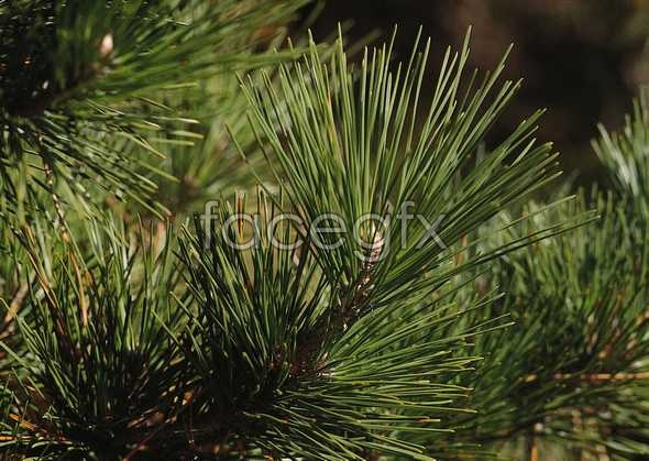 Needle-shaped leaves pictures