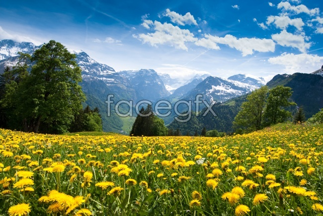 Yellow chrysanthemum snow HD pictures