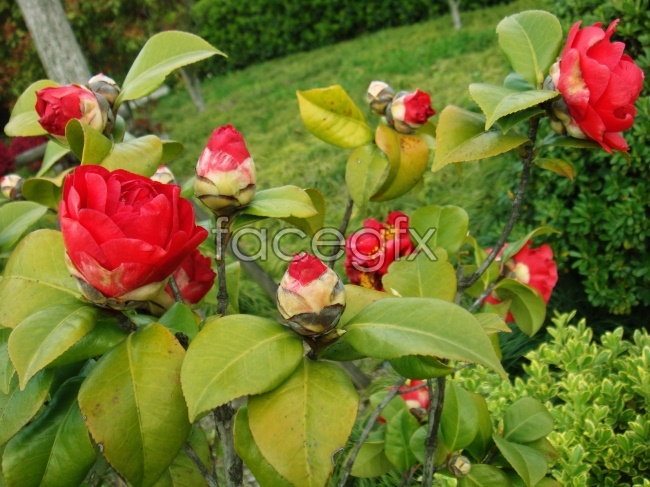 HD picture red Camellia