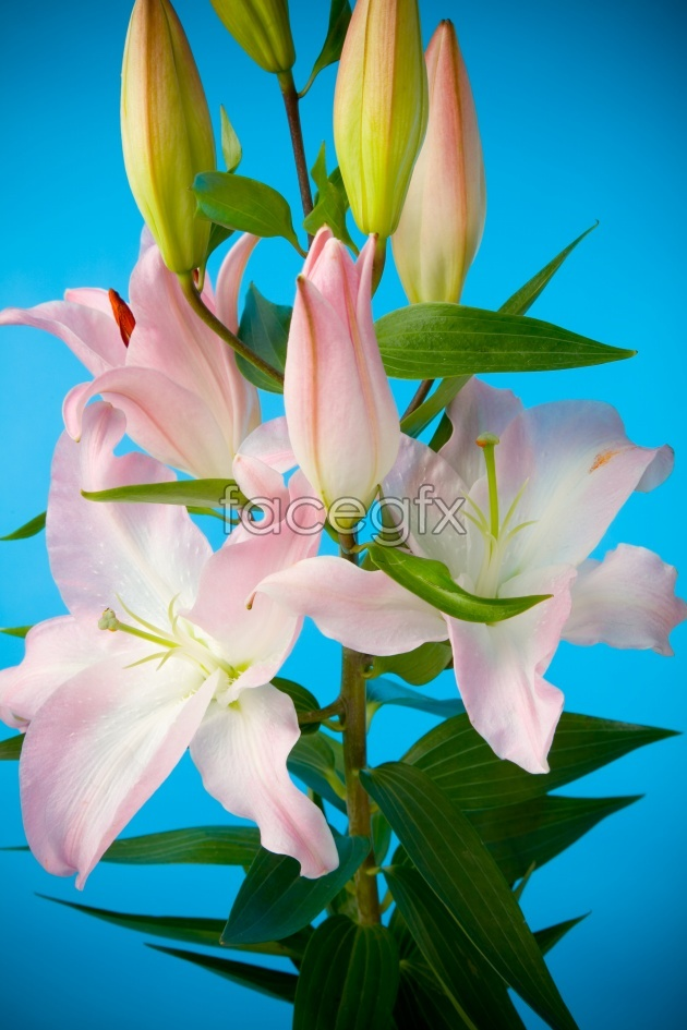 Lily picture