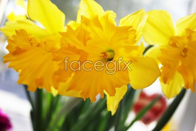 Beautiful yellow Daffodil picture