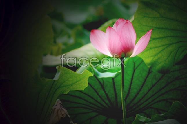 Classic Lotus picture material