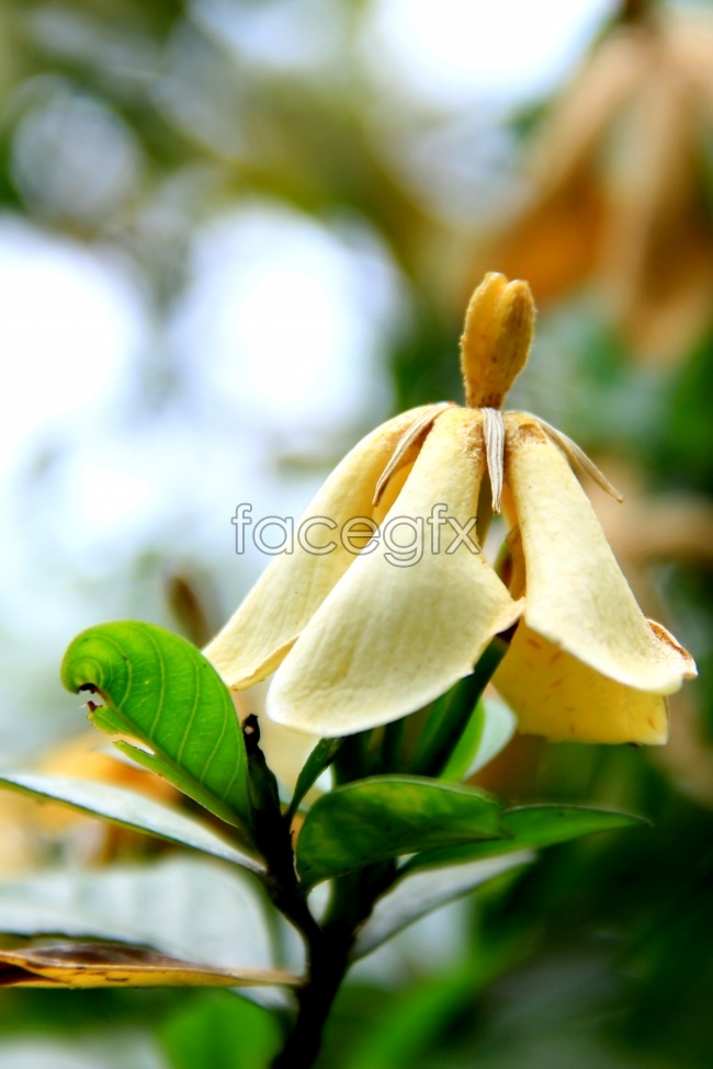 Gardenia HD pictures
